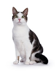 Sitting mixed-breed tabby house cat with white, looking straight at the camera with big green eyes, isolated on a white background