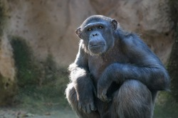 Sitting monkey. Chimpanzee monkey looks at something with extreme attention