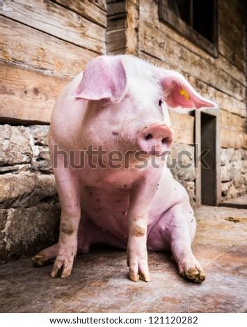 sitting pig at a farm near vienna - austria