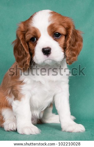 Sitting puppy of a Cavalier King Charles spaniel