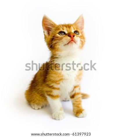 sitting red cat isolated on white background