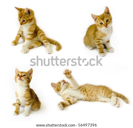 sitting red cats isolated on white background