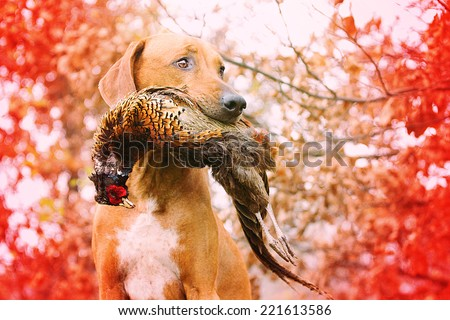Sitting rhodesian Ridgeback holds in its mouth pheasant #221613586