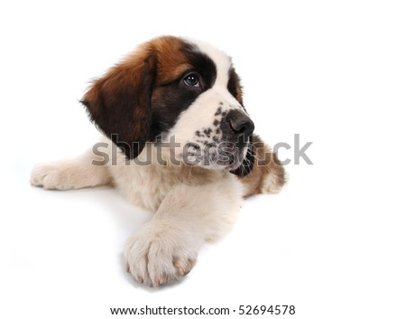 Sitting Saint Bernard Puppy Looking Sideways on White Background