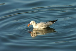 sitting seagull swimming on the river, feeding birds