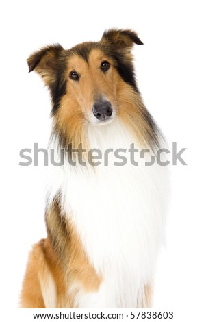 Sitting Shetland Islands Collie isolated on white background