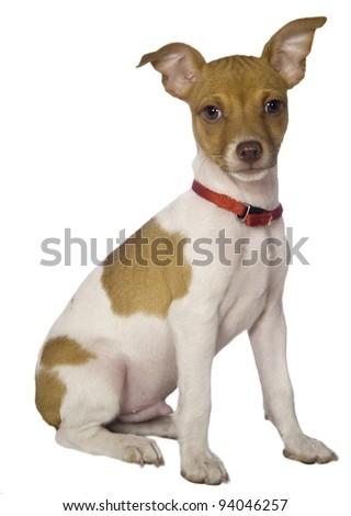 Sitting Terrier isolated