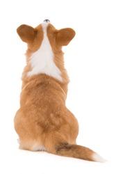 sitting welsh corgi dog from behind looking up isolated on white background