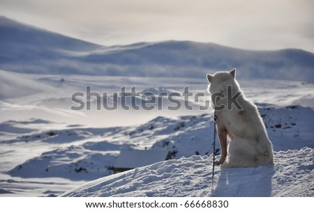 Sitting white dog in cold arctic winter, Kulusuk village, Greenland