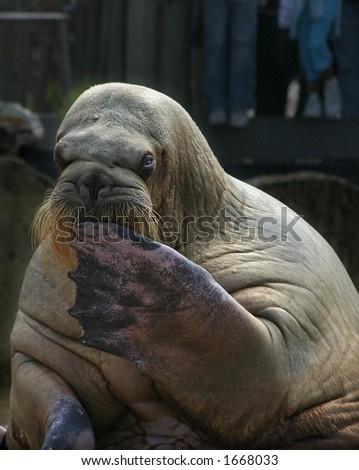 Sitzender Walrus - stock photo
