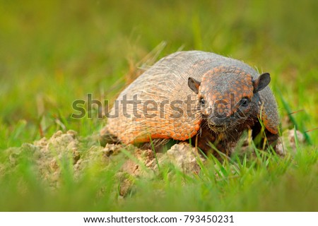 Six-Banded Armadillo, Yellow Armadillo, Euphractus sexcinctus, Pantanal, Brazil. Wildlife scene from nature. Funny portrait of Armadillo, hidden in the grass. Wildlife of South America.