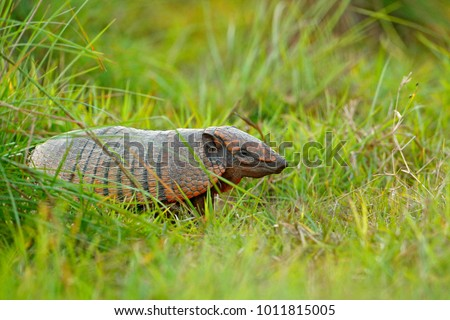 Six-Banded Armadillo, Yellow Armadillo,  Funny portrait of Armadillo, hidden in the grass. Wildlife of South America. Euphractus sexcinctus, Pantanal, Brazil. Wildlife scene from nature.