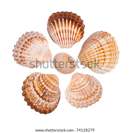 Six common cockle shells arranged in a flower shape, isolated on white background