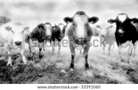 Six cows staring. Shot on Infrared Film (known for high-grain) and drum scanned.