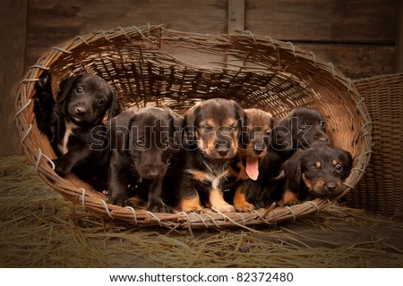 Six dachshund puppies purebred in basket.