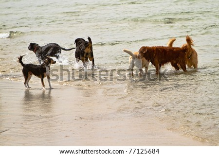 Six dogs of different breeds playing together in the ocean in California