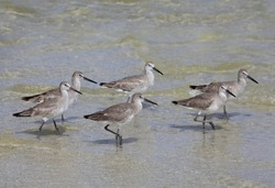 Six Durlin Water Fowl Wading in the Shallows of the Gulf of Mexico
