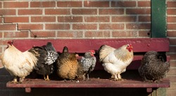Six farm chickens sit on a bench in the sun in a row