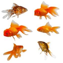 Six goldfish isolated on a white background.