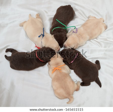 six labrador retriever puppies (one week old)