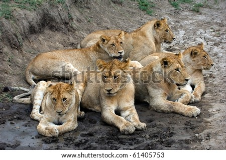 Six lions. In hot day Six lions have a rest in a hollow.