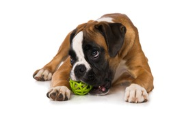 Six months old boxer with a ball isolated on white background