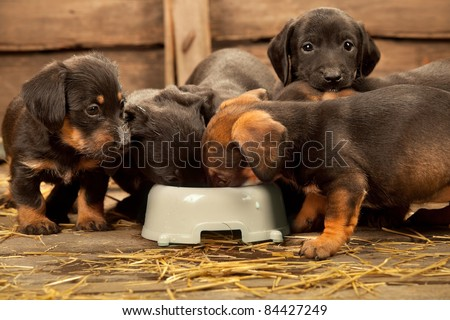 Six puppies of dachshund near bowl with milk