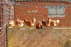 Six red chickens on a wall in the farmyard