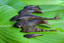 Six species of armored catfish placed on leaves to make a dish called maito