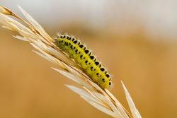 Six-spot Burnet moth caterpillar, Zygaena Filipendulae Stephensi, on a grass stem in a meadow with a blurred straw-coloured background.