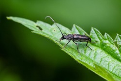Six-spotted longhorn (Anoplodera sexguttata) sitting on a leaf. Tiny black bug in its habitat. Insect detailed portrait with soft green background. Wildlife scene from nature. Czech Republic