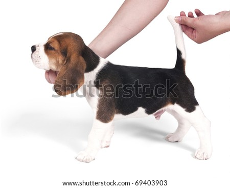 Six-week beagle puppy in the exterior rack on a white background