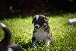 six week old border collie puppy. Tricolor teddybear amazing structure on his head.