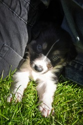 six week old border collie puppy. Tricolor teddybear. He look so ambitious. He is so cute and strong