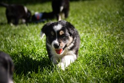 six week old border collie puppy. Tricolor teddybear with big smile.
