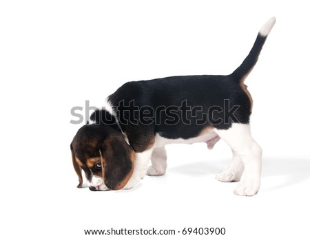 Six-week puppy beagle on the trail on a white background