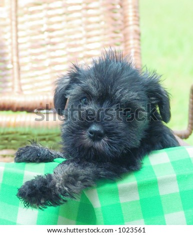 Mini Schnauzer Puppies on Miniature Schnauzer Dog Miniature Schnauzer Black Find Similar