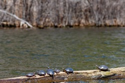 Six wild midland painted turtles (Chrysemys picta marginata) bask in the sun on a log floating in water in a wildlife image with negative space.