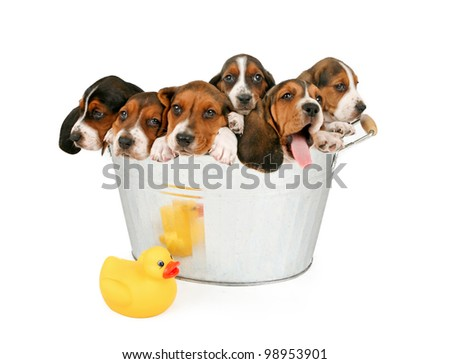 Six young puppies in an old vintage bathtub. Isolated on white.