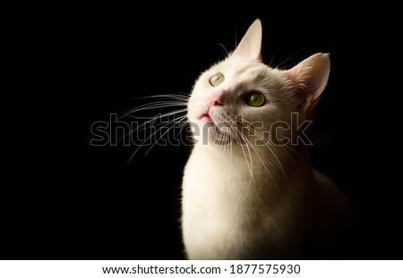 Siyah arka plan, dramatik ışıkta beyaz bir kedi. Stok fotoğraf ©