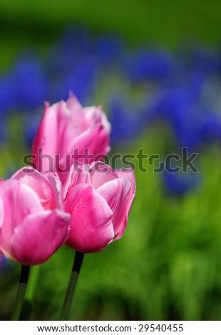 Skagit Valley Tulip Festival #29540455