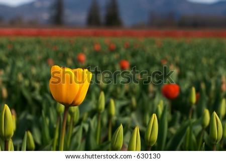 Skagit Valley Tulips, Washington State
