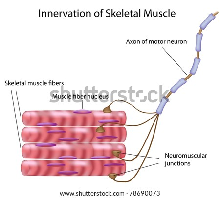 Skeletal muscle and motor neuron in a motor unit