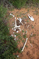 Skeletal remains of a kangaroo, Western Australia.