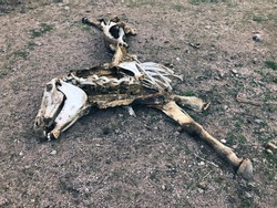 Skeletal remains of dead horse or wild burro found in desert. Decomposing corpse including skull and bones.