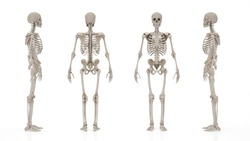 skeletal system image from different angles