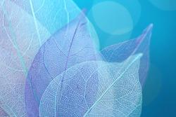 Skeleton Blue Leaf Set Macro.skeletonized leaf  close-up on blue blurred bokeh background.Group of  skeleton leaves. structure delicate skeletonized leaf.Blue Abstract Leaves Background