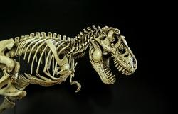 Skeleton Dinosaur Tyrannosaurus ( t-rex ) on dark background.