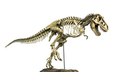 Skeleton Famous Dinosaurs of Cretaceous Tyrannosaurus Rex ( t-rex ) isolated on white background.