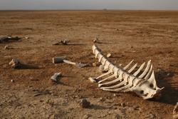 skeleton in desert with single bones around